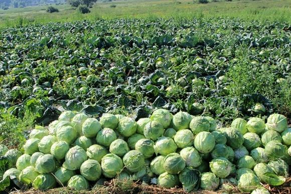 Цены на ранние овощи открытого грунта остануться высокими до начала лета фото, иллюстрация