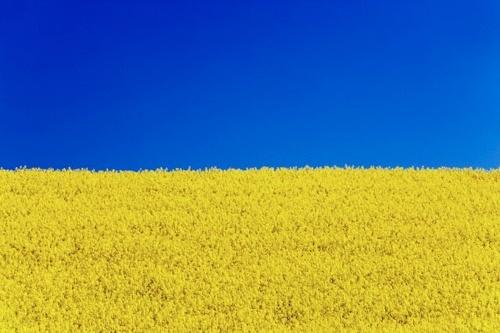 Поточна оцінка стану посівів дозволяє очікувати високого врожаю ріпаку в Україні фото, ілюстрація