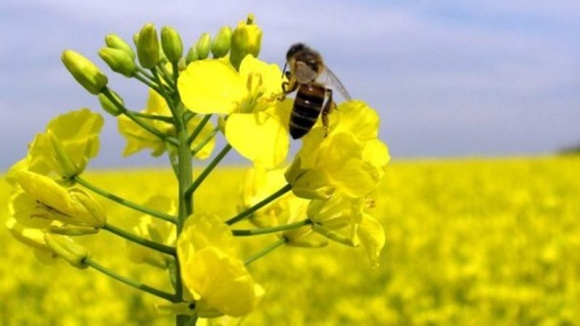 Бджіл хочуть використати для… доставки пестицидів фото, ілюстрація