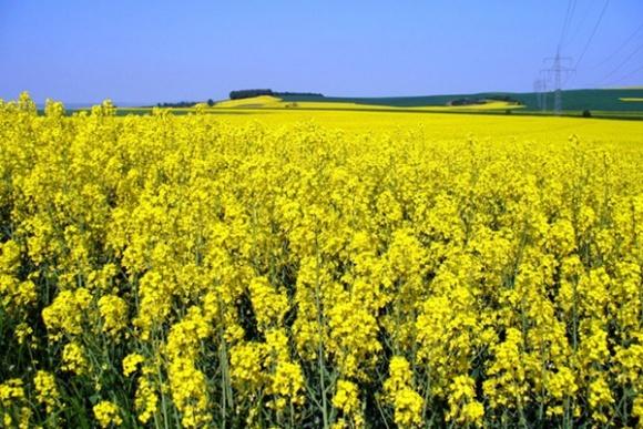 Agricom Group отримала $600/га ріпаку, застосувавши новий підхід фото, ілюстрація