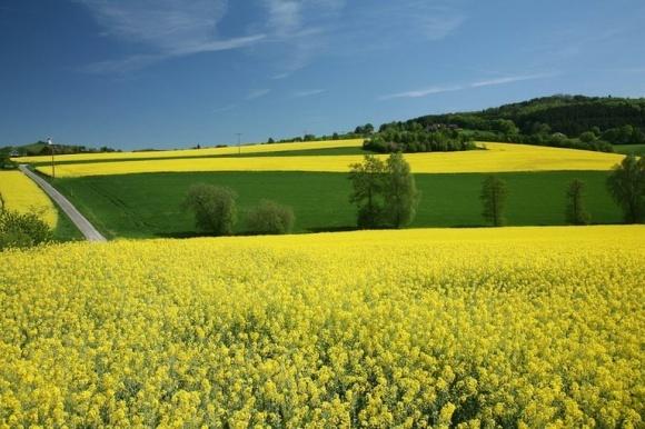 ЕС увеличил импорт рапса из Украины почти в два раза фото, иллюстрация