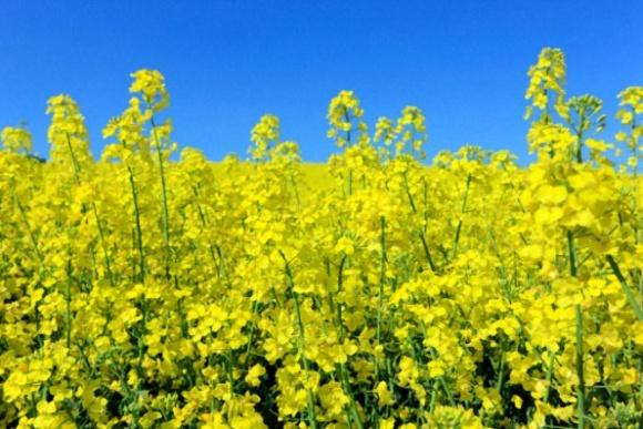 Несмотря на суровую зиму урожай рапса в ЕС не упадет ниже среднегодового значения фото, иллюстрация