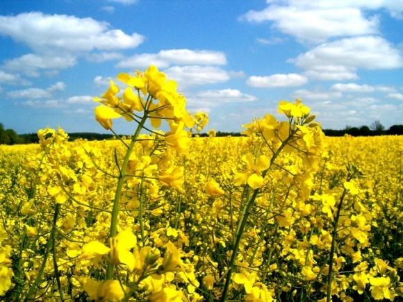 В Україні збільшаться посівні площі під житом і ріпаком фото, ілюстрація