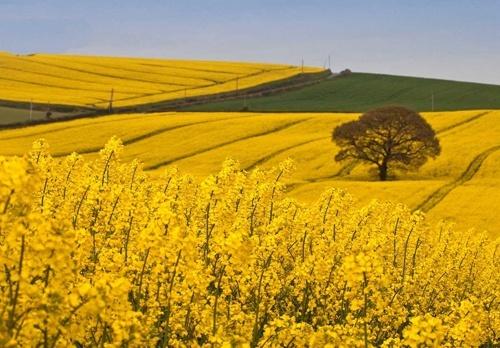 Площа озимого ріпаку в Україні під врожай 2019 року майже на 30% вища за минулорічну фото, ілюстрація