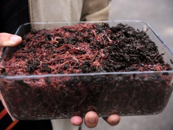Бізнес на черв'яках окупиться за 3 роки фото, ілюстрація