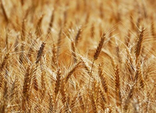 Украина с начала сезона-2019/20 экспортировала более 10 млн. тонн пшеницы фото, иллюстрация