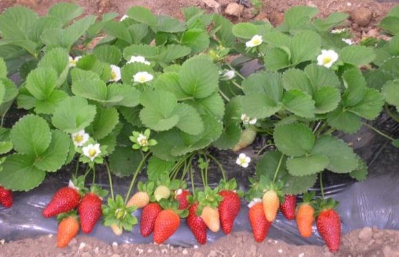 В Украине начался сезон ремонтантной клубники урожая 2018 фото, иллюстрация