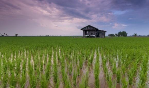 Ученые нашли способ повысить урожайность риса без использования фунгицидов  фото, иллюстрация