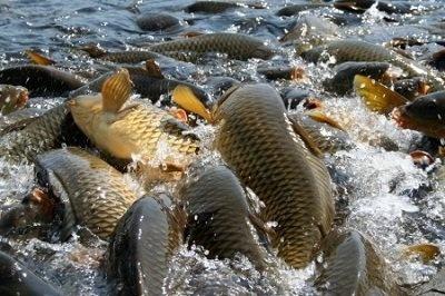 Фермери будуть разводить рибу за посібником фото, ілюстрація