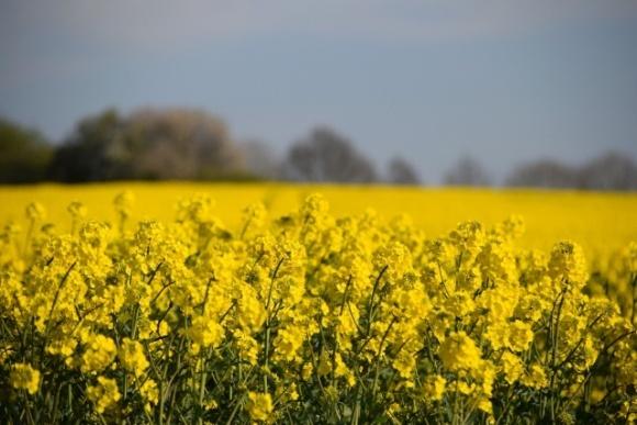 Ціни на ріпак зростають через зниження прогнозів урожаю в Україні та ЄС фото, ілюстрація