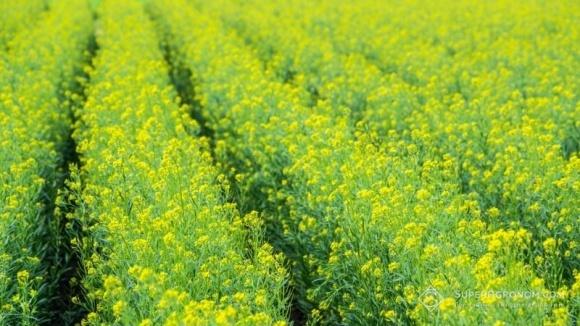 Уже посіяно 256 тис. га озимого ріпаку під урожай наступного року фото, ілюстрація