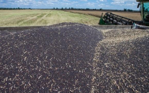 Україна: ріпаковий 2021/22 сезон може врятувати врожайність фото, ілюстрація