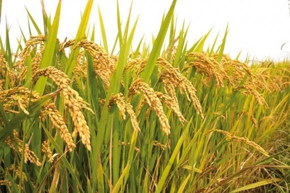 На півдні України розпочато рисові жнива фото, ілюстрація
