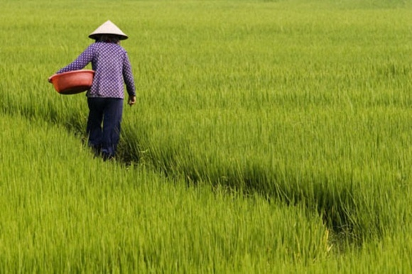 Ученые научили рис цвести только после обработки пестицидом фото, иллюстрация