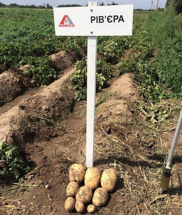 Фермери визначилися з сортами картоплі, що показують найбільшу продуктивність у кліматичних умовах сходу України  фото, ілюстрація