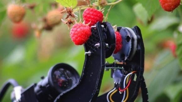 У Великій Британії випробували робота-збирача малини фото, ілюстрація