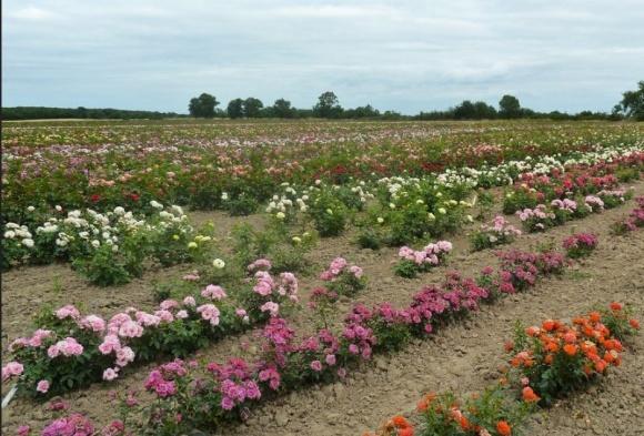 Красивий бізнес. Як на Вінниччині заробляють на саджанцях троянд фото, ілюстрація