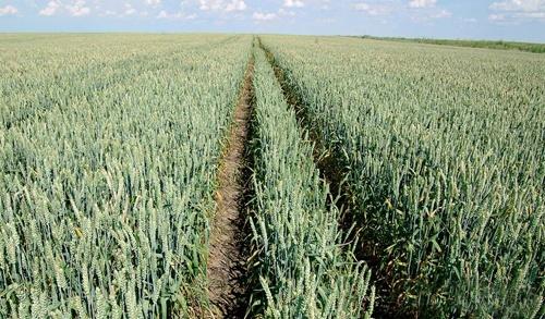 В Україні спостерігаються сприятливі метеорологічні умови для вегетації озимини фото, ілюстрація