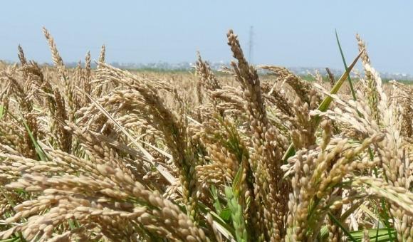 Агролайфхак: крапельне зрошування рису на 250% ефективніше, ніж традиційне затоплення фото, ілюстрація