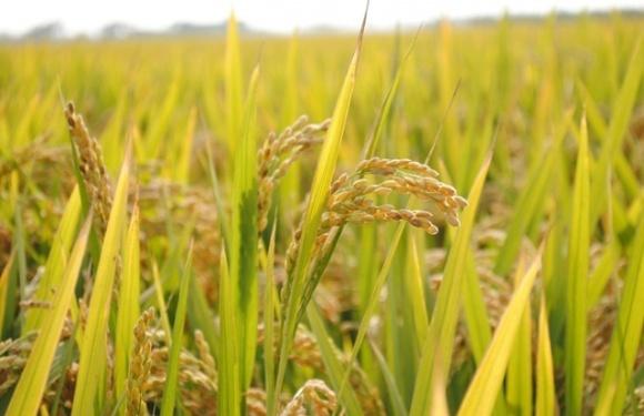 Херсонський насіннєвий рис поїхав у Казахстан фото, ілюстрація