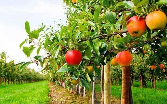 «Укрсадпром» знову звернувся до МінАПК щодо ситуації на ринку переробки фруктів фото, ілюстрація