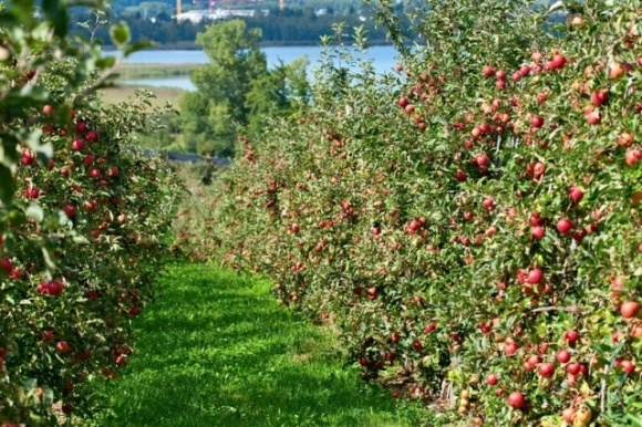 Правительство поддержало решение о выделении средств на развитие садоводства, виноградарства и хмелеводства фото, иллюстрация