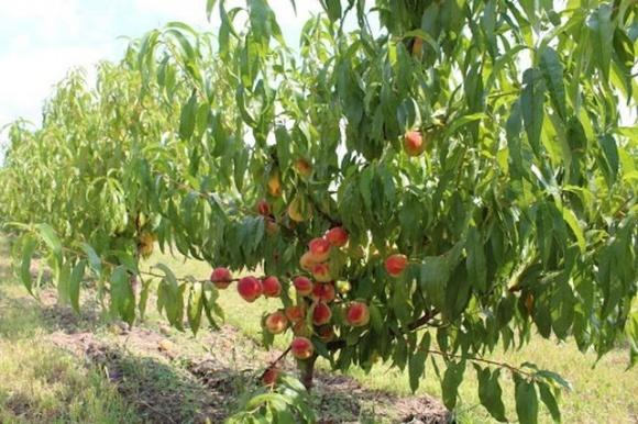 У Львівській області зростає кількість персикових садів фото, ілюстрація