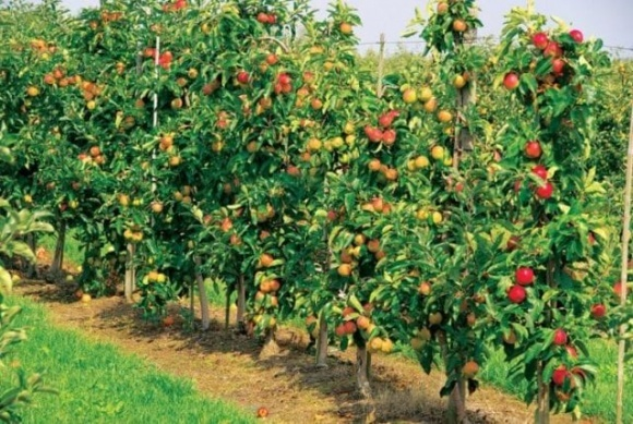Мульча з міскантуса виявилася не гірше гербіцидів для захисту яблунь від бур'янів, — вчені  фото, ілюстрація