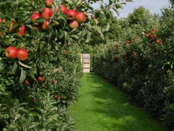 Гектар яблуневого саду дозволяє зафіксувати більше 40 тонн вуглекислого газу і охолодити атмосферу  фото, ілюстрація