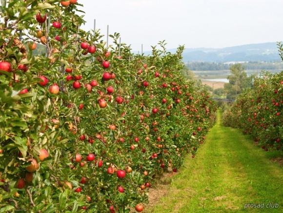 Виробництво органічних фруктів зростатиме щорічно на 50-100% фото, ілюстрація