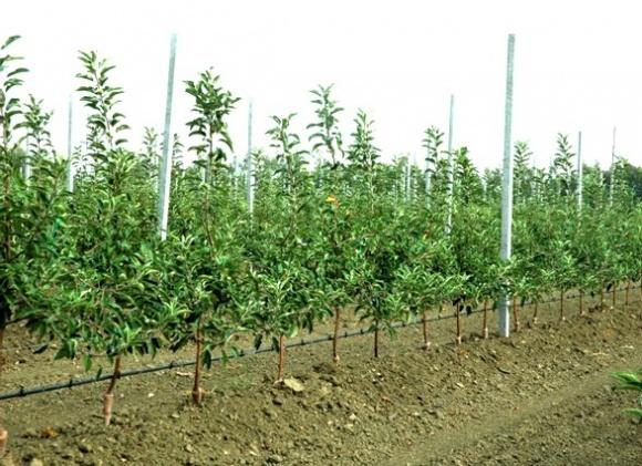 Агролайфхак: закладка плодового сада. Выбор места и посадочного материала фото, иллюстрация