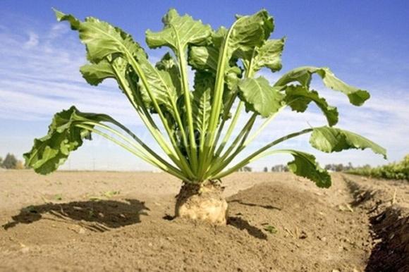 Украинские фермеры уменьшили площади посевов под сахарной свеклой фото, иллюстрация