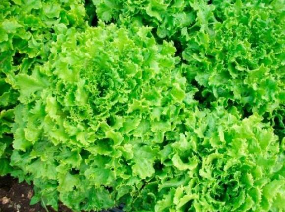 Ученые из Черниговщины вывели новые сорта салата и огурцов фото, иллюстрация