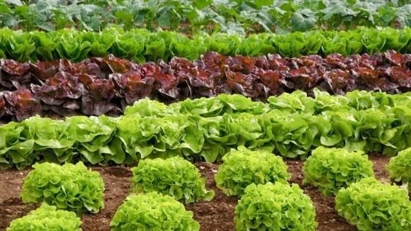 Біопрепарати пришвидшують ріст салатів фото, ілюстрація