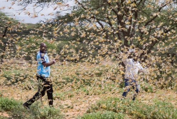 Спутники NASA помогут в борьбе с нашествием саранчи в Африке фото, иллюстрация