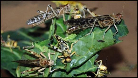 Нашествие саранчи. Индия и Пакистан воюют с насекомыми в разгар пандемии фото, иллюстрация