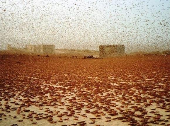 В Пакистане фермеров поощряют ловить саранчу фото, иллюстрация