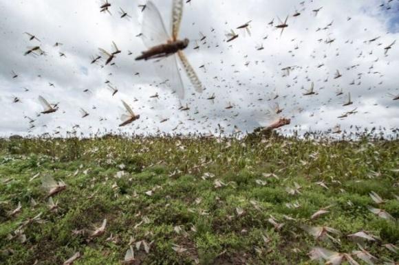 Саранчовый комбайн-пылесос засасывает почти 100 тысяч вредителей в час фото, иллюстрация