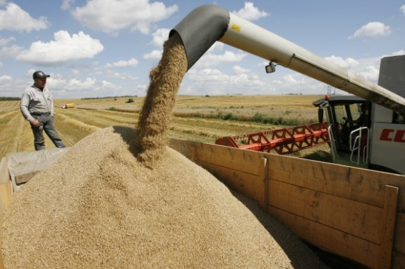 Непереработанное зерно наносит убытки фото, иллюстрация