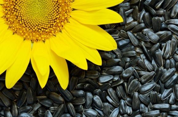 Урожайность подсолнечника почти на 35% ниже прошлогодней фото, иллюстрация