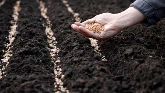 Самозбір гібридного насіння: можливі варіанти фото, ілюстрація