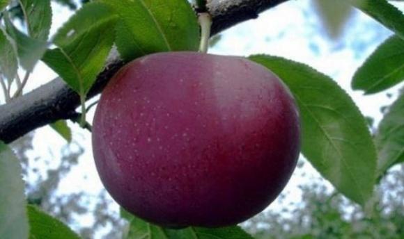 Под Одессой фермер вырастил удивительный фрукт  фото, иллюстрация