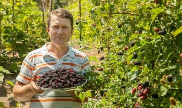 На Вінниччині фермер зібрав найбільшу у світі колекцію сортів шовковиці з усіх континентів фото, ілюстрація
