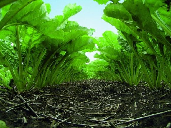 Рентабельність  виробництва цукрових буряків у 2017 році зменшилась удвічі – Інститут аграрної економіки фото, ілюстрація