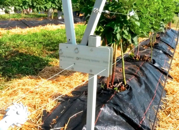 Агролайфхак: выращивание ежевики с использованием поворотной шпалеры фото, иллюстрация