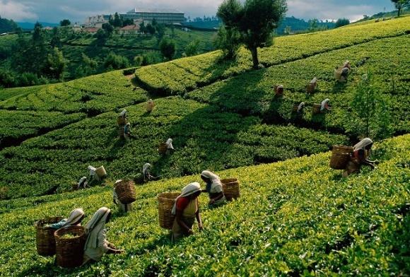 Чайная промышленность Шри-Ланки несет убытки из-за запрета глифосата фото, иллюстрация