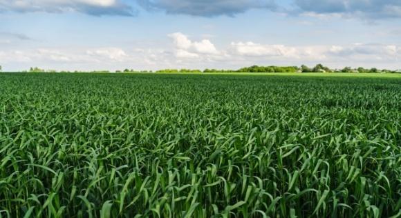 Захист прапорцевого і підпрапорцевого листків озимих зернових культур фото, ілюстрація