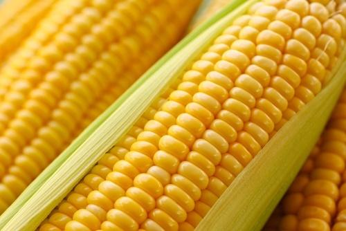 Аграрий из штата Вирджиния установил мировой рекорд урожайности кукурузы фото, иллюстрация