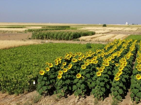 Найбільших втрат урожаю аграрії зазнають через недотримання науково обґрунтованих сівозмін, — науковці фото, ілюстрація