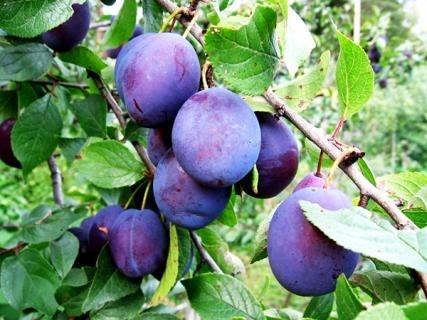 За обсягами експорту в новому сезоні серед фруктів лідирує слива фото, ілюстрація